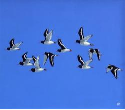 Helen Beazley - Oystercatchers in Flight